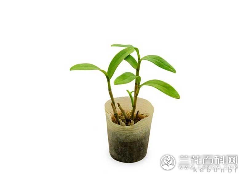 螺瓣石斛Dendrobium cochliodes