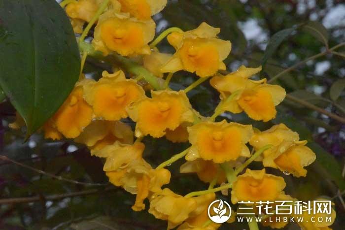 密花石斛Dendrobium densiflorum