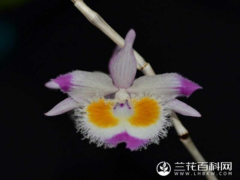 齿瓣石斛Dendrobium devonianum