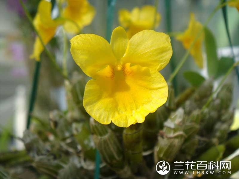短捧石斛Dendrobium capillipes