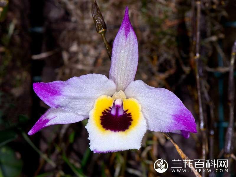 串珠石斛Dendrobium falconeri