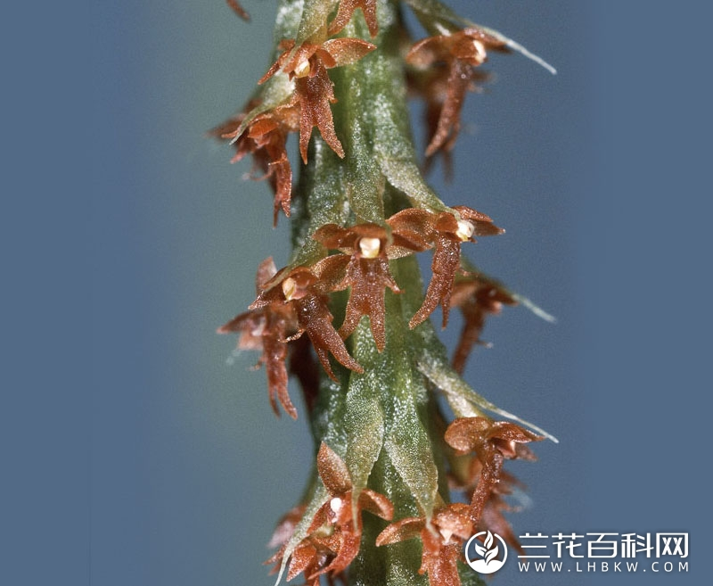 长裂鸢尾兰Oberonia anthropophora