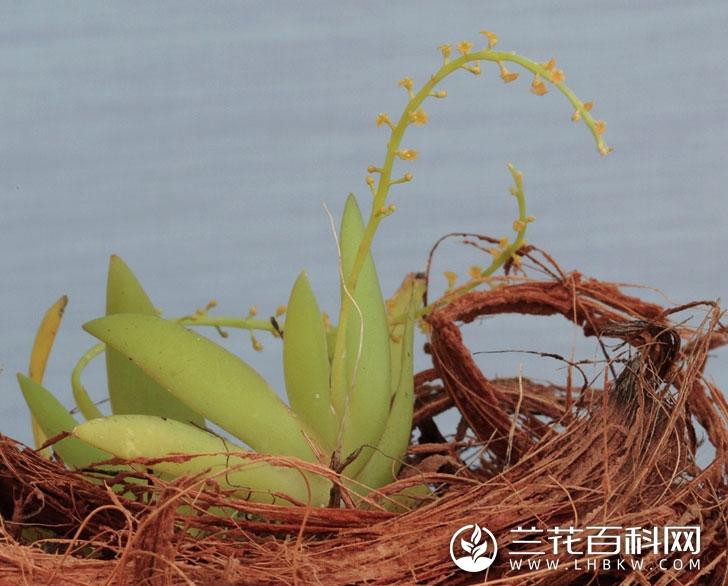 齿瓣鸢尾兰Oberonia gammiei
