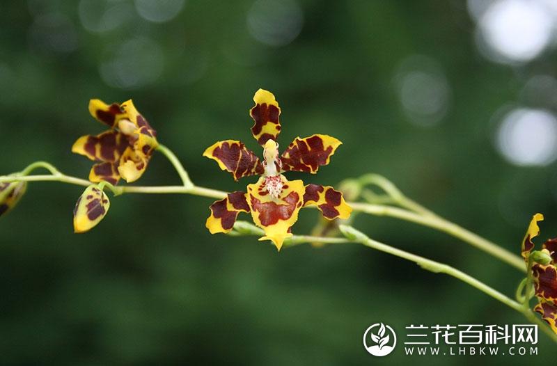 文心兰属Oncidium Sw.