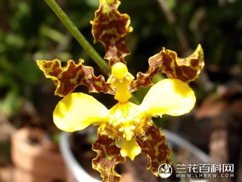 髯毛文心兰Oncidium barbatum