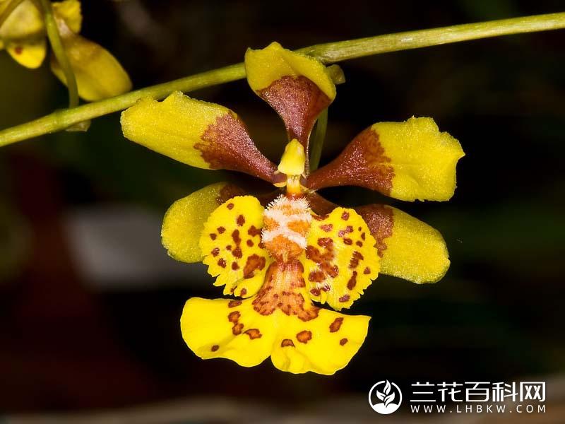 叉枝文心兰Oncidium divaricatum
