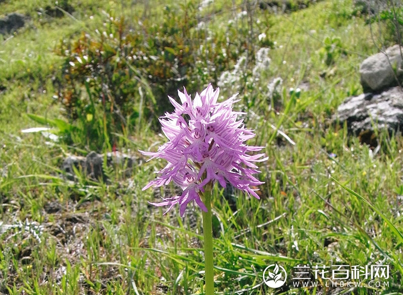 意大利红门兰Orchis italica