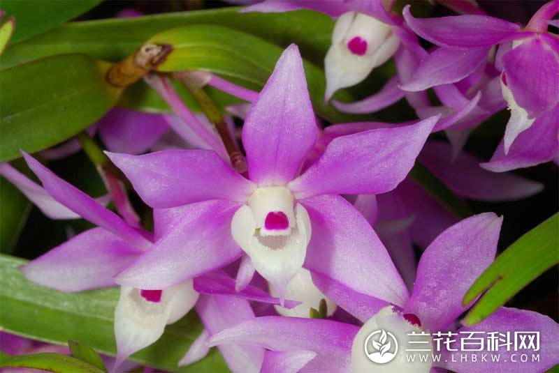 疏花石斛Dendrobium henryi