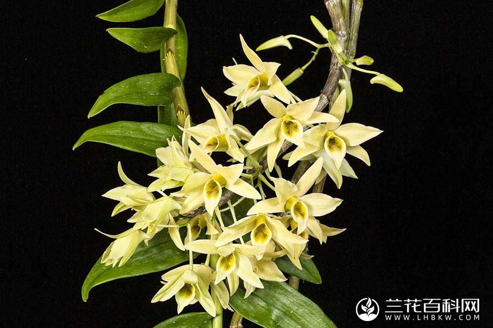 尖刀唇石斛Dendrobium heterocarpum