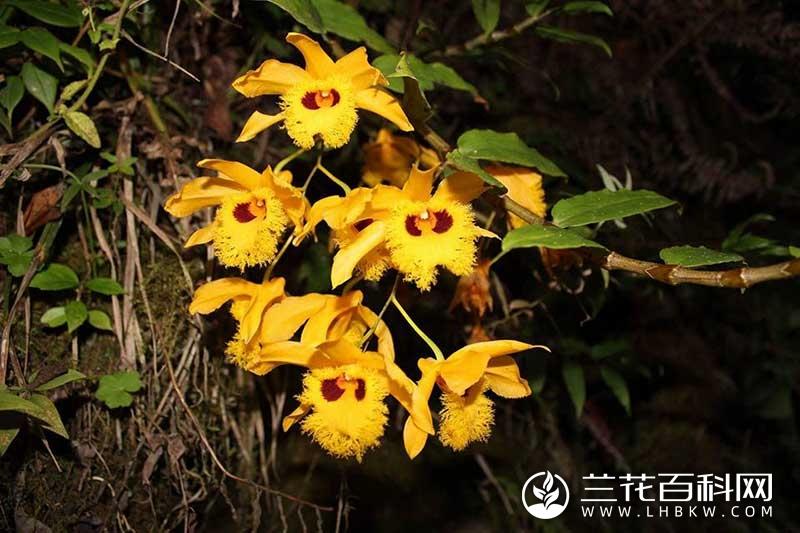 金耳石斛Dendrobium hookerianum