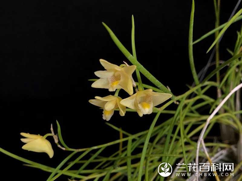 灯心草叶石斛Dendrobium junceum