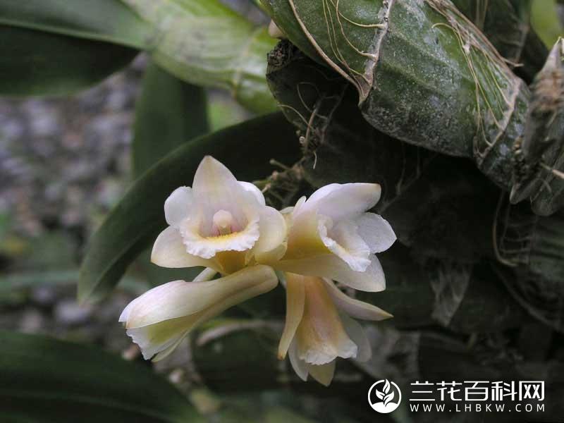 扁茎石斛Dendrobium lamellatum