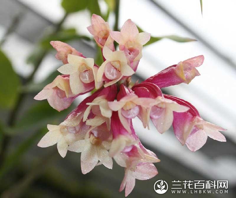拉威仕石斛Dendrobium lawesii