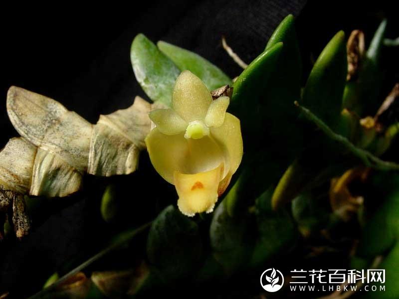 狮黄石斛Dendrobium leonis