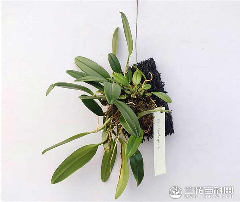 聚石斛Dendrobium lindleyi