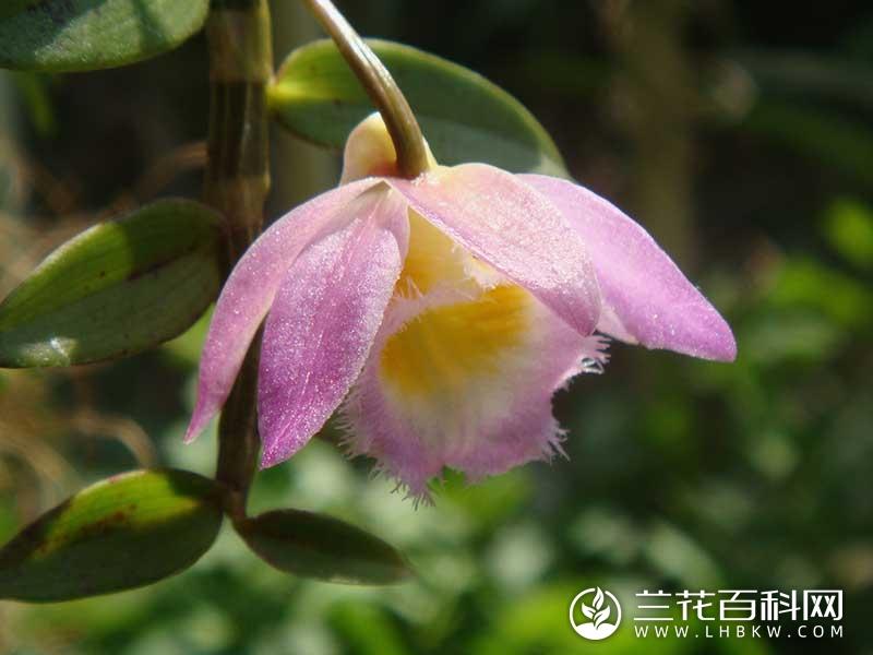 美花石斛Dendrobium loddigesii