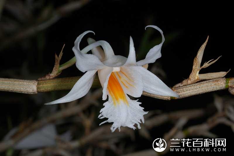 长距石斛Dendrobium longicornu
