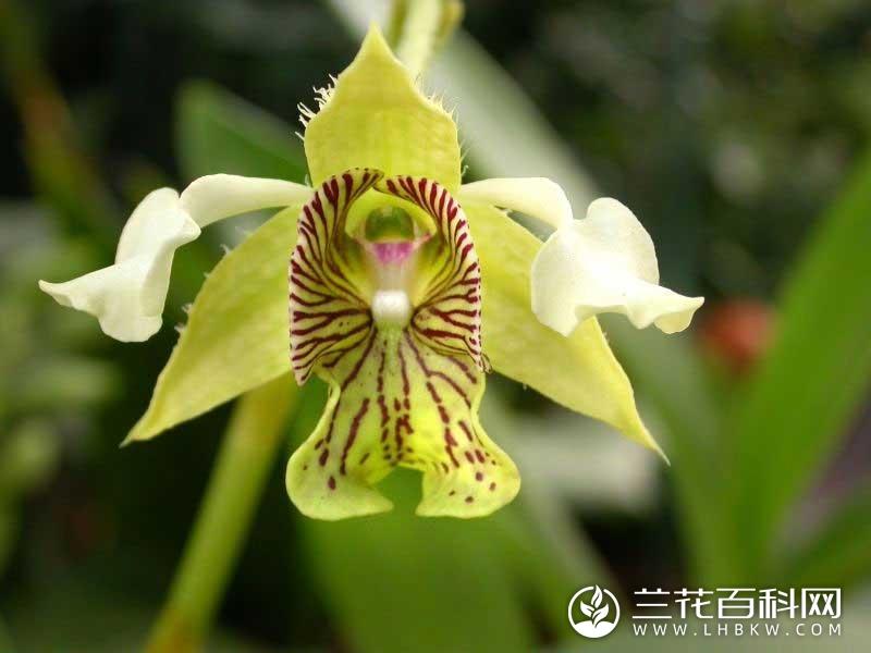大叶石斛Dendrobium macrophyllum