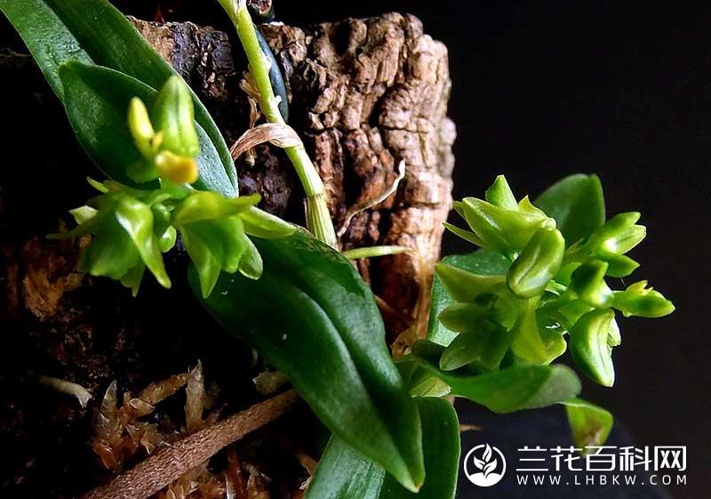 勐海石斛Dendrobium sinominutiflorum