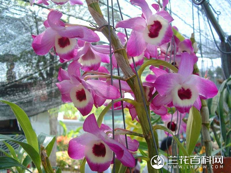 石斛Dendrobium nobile