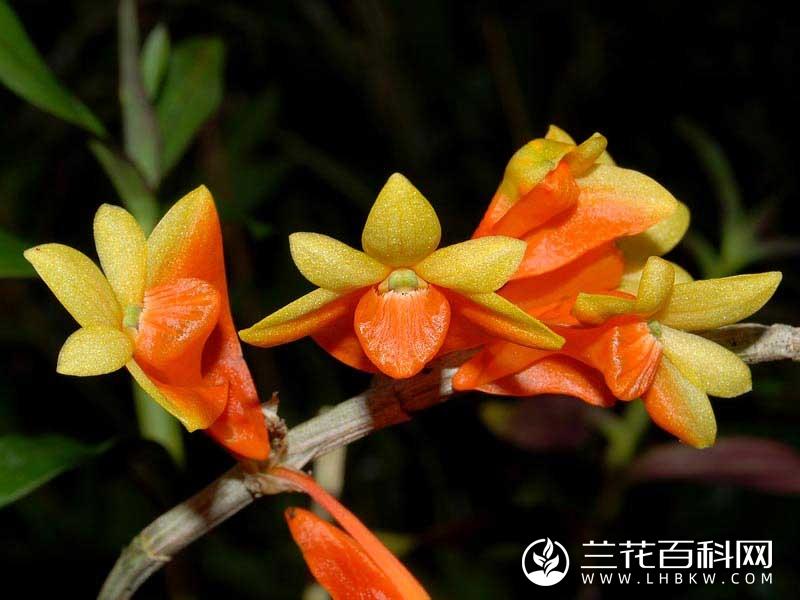 钝瓣石斛Dendrobium obtusipetalum