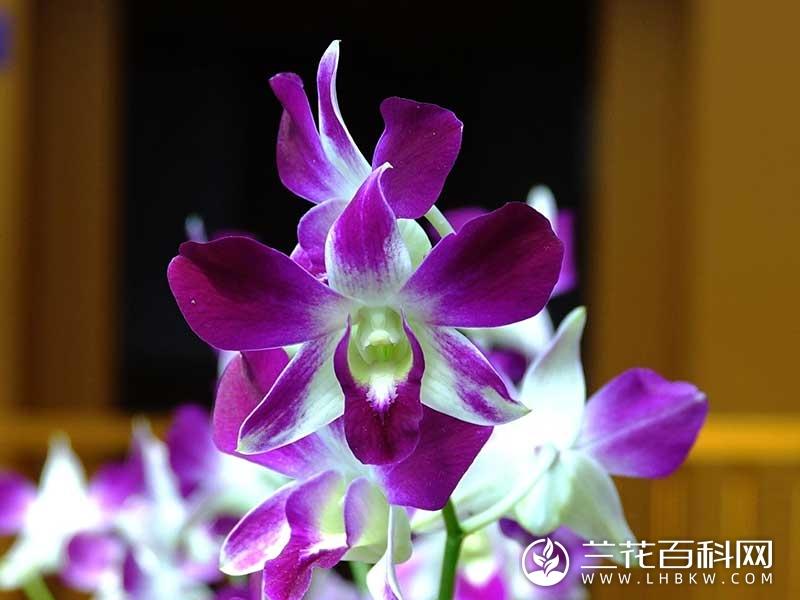 蝴蝶石斛Dendrobium phalaenopsis
