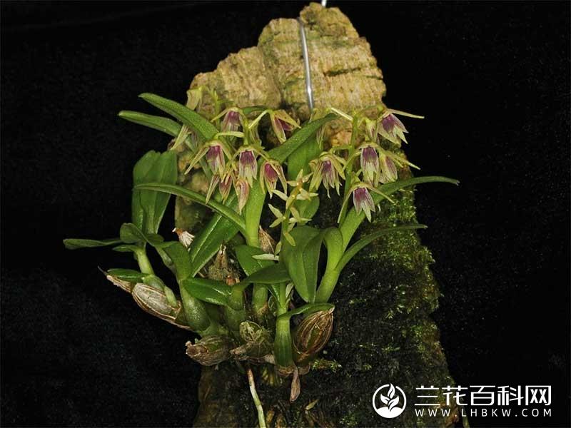 单葶草石斛Dendrobium porphyrochilum