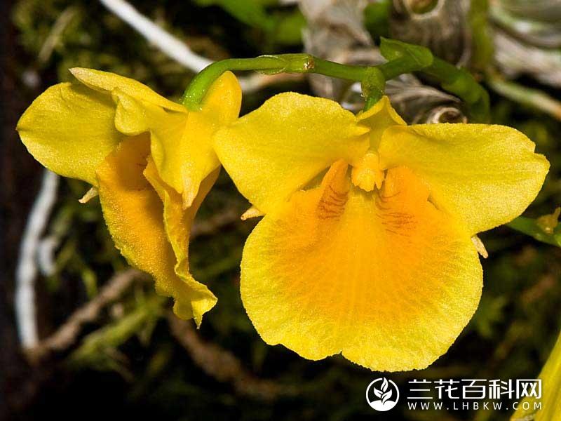 短棒石斛Dendrobium capillipes