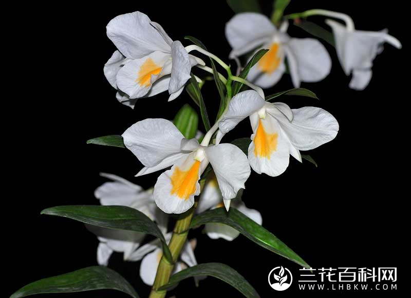 美丽石斛Dendrobium formosum