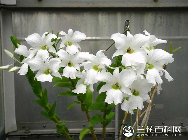散氏石斛Dendrobium sanderae