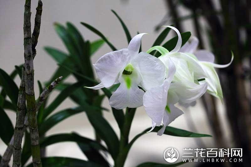 斯库兹氏石斛Dendrobium schuetzei