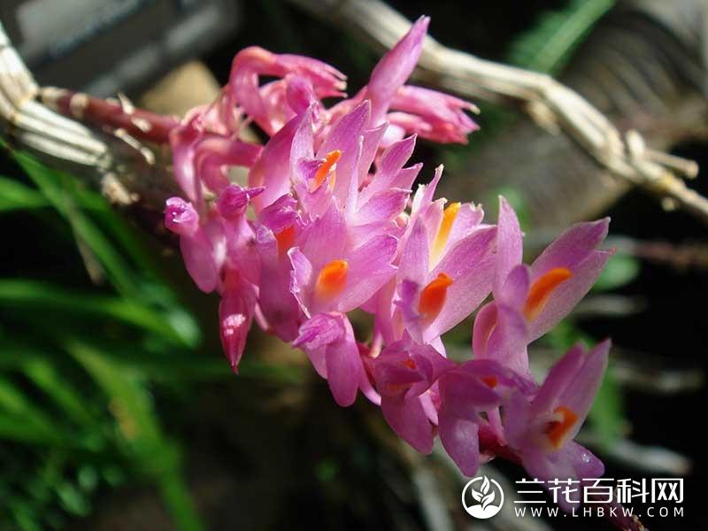 偏花石斛Dendrobium secundum