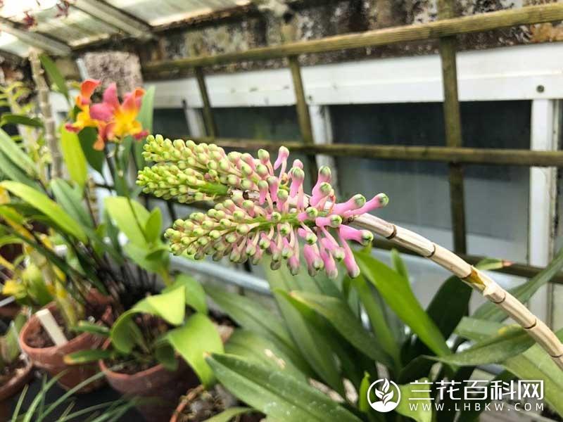 斯氏石斛Dendrobium smillieae