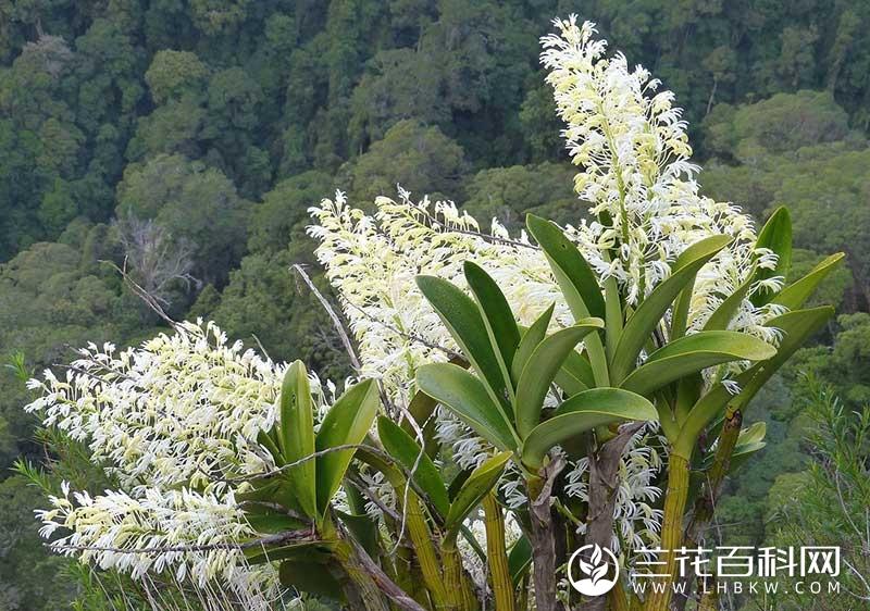 丽花石斛Dendrobium speciosum