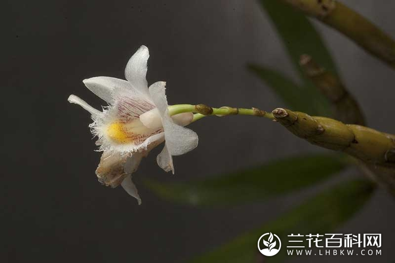 叉唇石斛Dendrobium stuposum