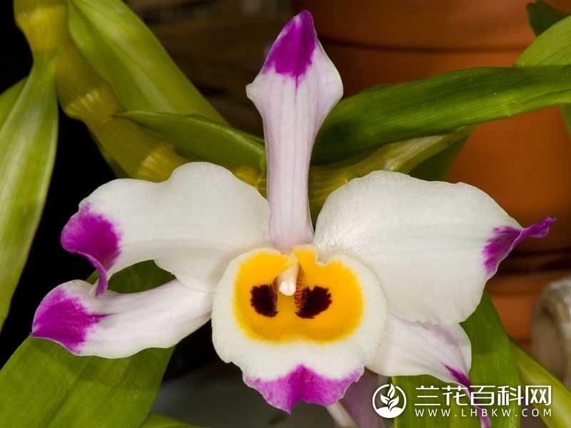 大苞鞘石斛Dendrobium wardianum