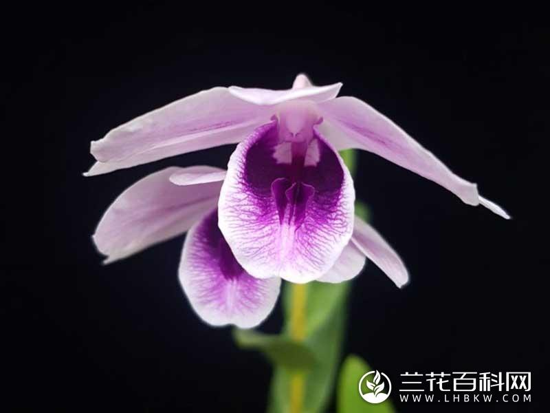 威廉氏石斛Dendrobium williamsianum