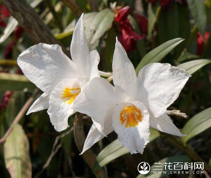 高山石斛Dendrobium wattii