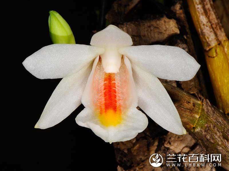 毛鞘石斛Dendrobium christyanum