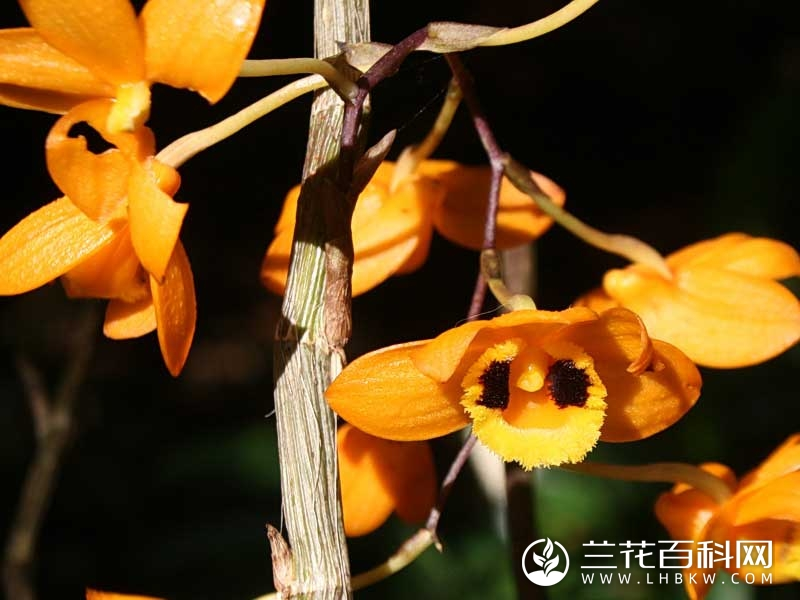 曲轴石斛Dendrobium gibsonii