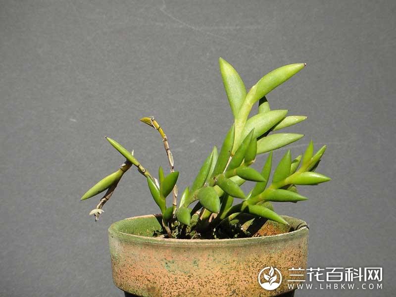 剑叶石斛Dendrobium spatella