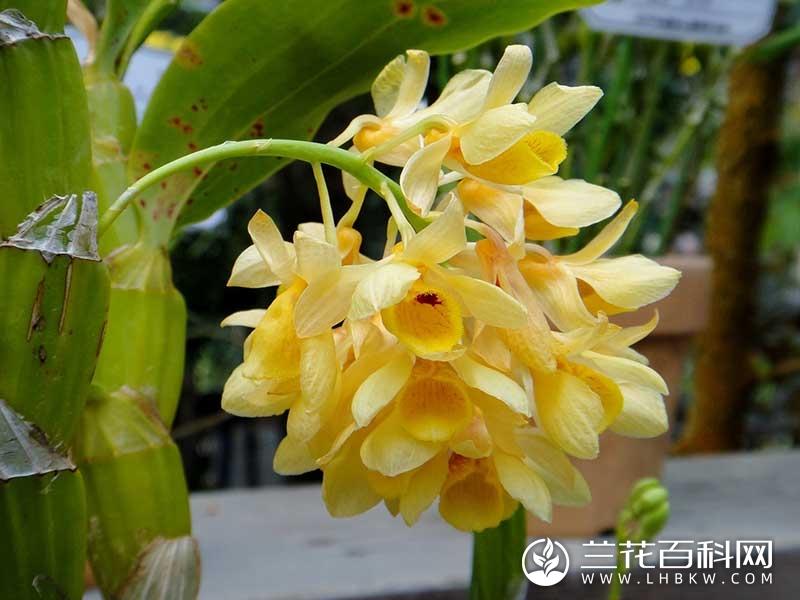 具槽石斛Dendrobium sulcatum