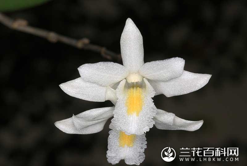 木石斛Dendrobium crumenatum