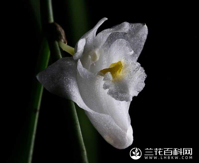 针叶石斛Dendrobium pseudotenellum