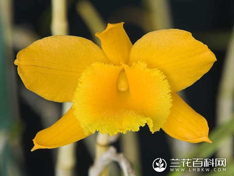 线叶石斛Dendrobium chryseum