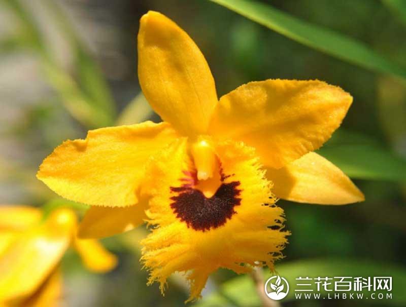 流苏石斛Dendrobium fimbriatum