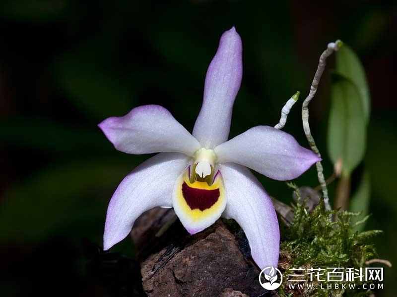 曲茎石斛Dendrobium flexicaule