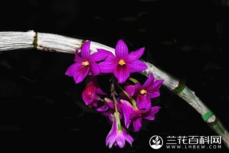 红花石斛Dendrobium goldschmidtianum