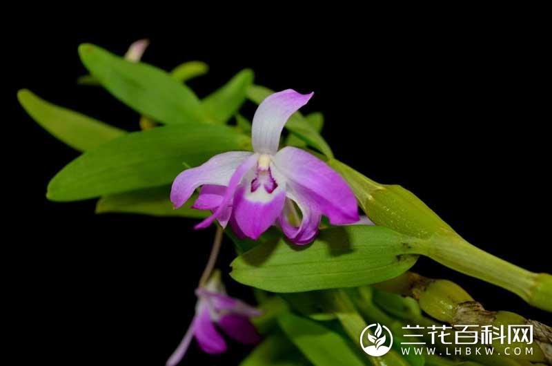 矩唇石斛Dendrobium linawianum