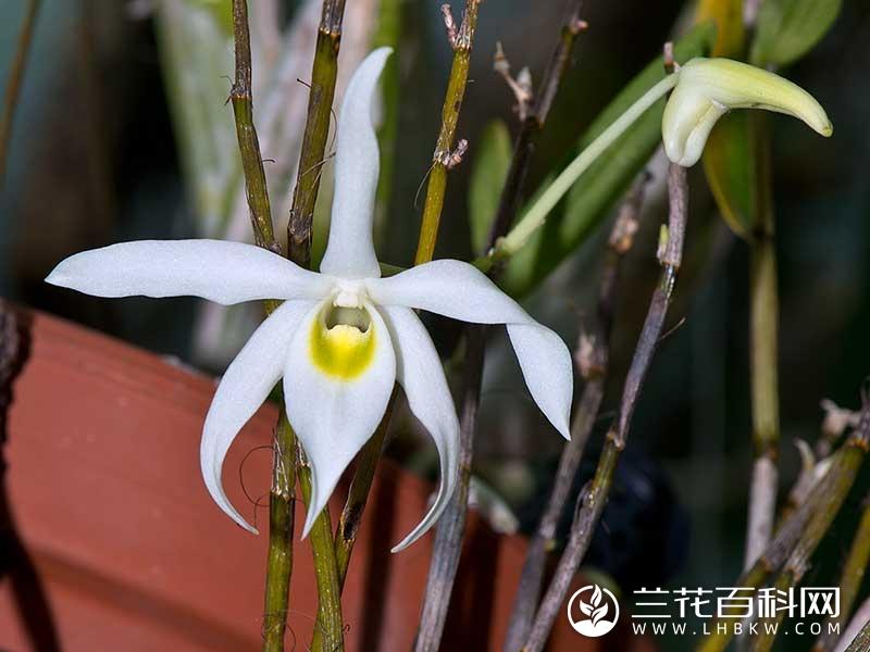 广东石斛Dendrobium wilsonii